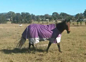 Mare and Gelding for sale together. Cessnock Cessnock Area Preview