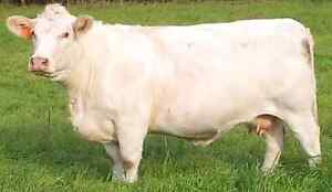 Purebred Polled CHAROLAIS-FOR SALE! Peterborough Peterborough Area image 5