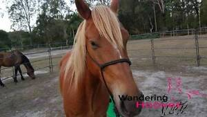 Stunning Stockhorse x 4yo Gelding Beachmere Caboolture Area Preview