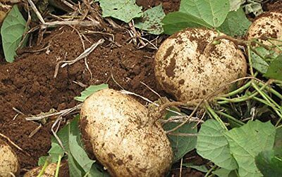 Jicama Mexican Yam Bean 5 Seeds Pachyrhizus Erosus Heirloom Rare Sweet & Crunchy