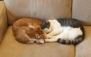 """Young Male Cat - Domestic Short Hair: """"Gerry"""" Downtown-West End Greater Vancouver Area image 3"""
