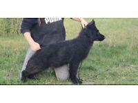 Adorable Chunky German Shepherd Pup