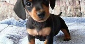 Looking for a Daschund