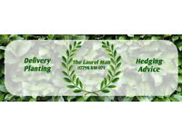 Laurel hedging plants 3ft - 6ft Delvery and planting service available