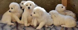 Maremma Guardian Puppies