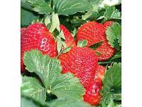Large established 1 yr old strawberry plants