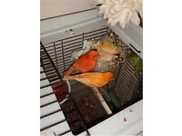 Baby red factor canaries