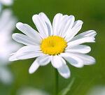 Daisys Unique and Ordinary
