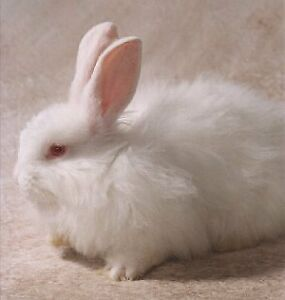 Wanted : French Angora pair