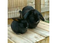 Black Female Mini Lop Rabbit