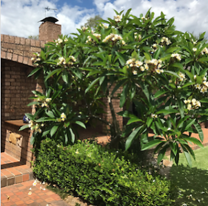 Mature Frangipani Tree Glenhaven The Hills District Preview