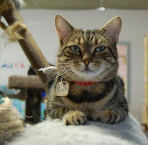 """Adult Male Cat - Domestic Short Hair: """"Shylo"""""""