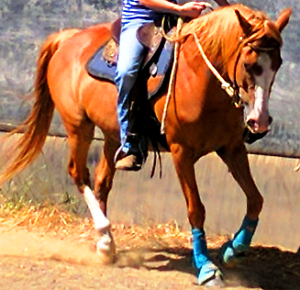 SNOOPY: SWEET, PLACID, EXPERIENCED 14.1HH CONFIDENCE BOOSTER Biddaddaba Ipswich South Preview