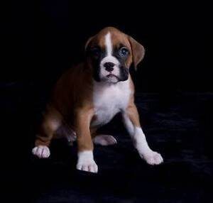 Wanting to buy Male Boxer puppy Irymple Mildura City Preview