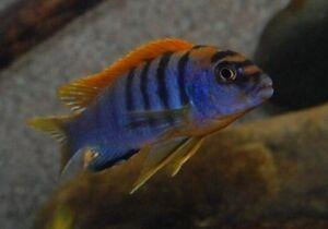 poisson aquarium cichlidés africain mbunas