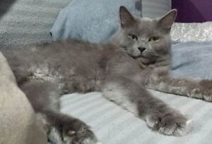 """Adult Female Cat - Domestic Short Hair: """"A36350661-Sassy-Foster"""""""
