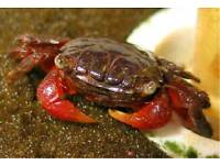 Red Claw Crab 3 available £8 each