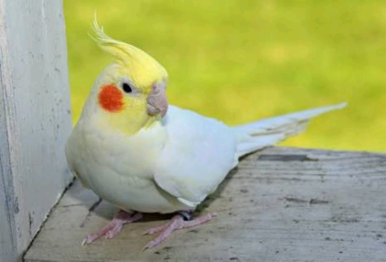 Wanted: Missing cockatiel near the lake on 18 July 17