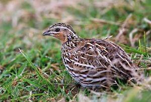 Stubble quails Carabooda Wanneroo Area Preview