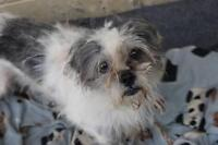 "Adult Male Dog - Shih Tzu-Terrier: ""FINN - SUPER CUTE"""