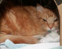 """Adult Female Cat - Domestic Long Hair: """"Butterfly"""""""