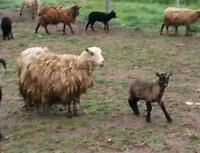 Shetland sheep ewe with lamb: two pairs available