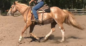Quiet, well trained APHA Registered mare *videos available*