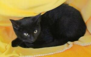 "Baby Male Cat - Domestic Short Hair-black: ""Bixkit"""