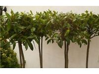 5ft Bay trees in pots mega cheap ! see images £18 each couple left