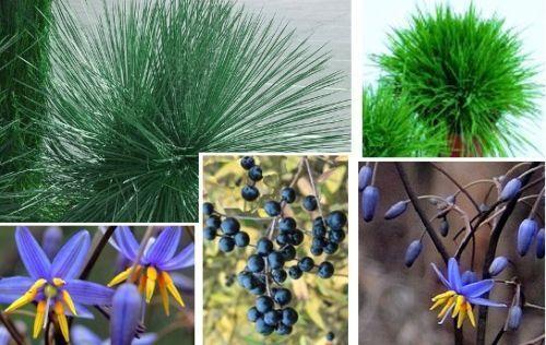 Ziergräser für den Balkon Garten Blumentopf blühend schnellwüchsig immergrün