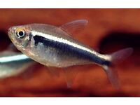 8x Black Neon Tetra for sale - live tropical fish