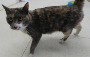 "Adult Female Cat - Domestic Short Hair: ""Ruby Roundhouse"""
