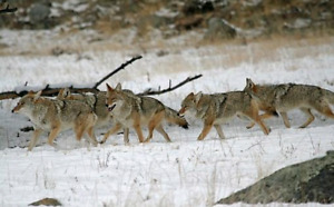 Coyote hunter looking for property to hunt.