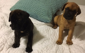 Take Me Home Mastiff Pups (Includes 1st Shots/Deworming)