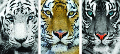 Tiger -3D Poster 12x16 Print Animated - 3 prints in 1 - 3D Lenticular