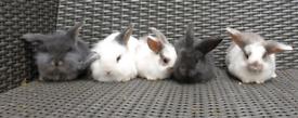 5 Baby rabbits /Lionhead