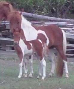 Miniature horse/pony young paint mare and filly foal x-stud Cooroy Noosa Area Preview