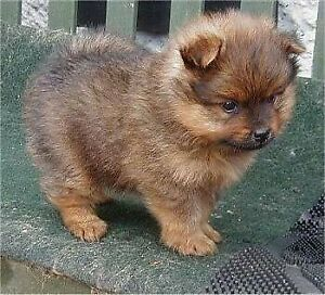 Wanted Pomeranian Puppy Mixed Brown Or