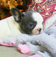 Blue Brindle and White French Bulldog Puppies