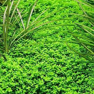 Plante aquarium couvre sol