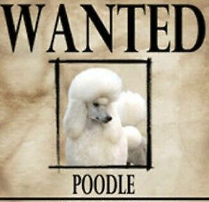 Wanted: TOY POODLE WANTED