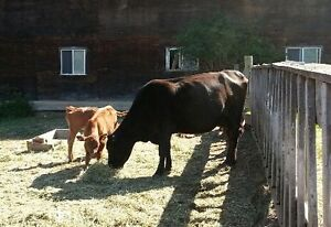 Brown Swiss Cow with twins