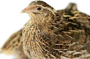 male Quails for sale