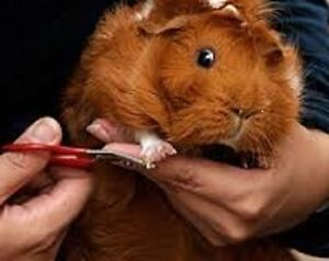 GPS (Guinea Pig Sanctuary): Boarding & Grooming for Guinea Pigs!