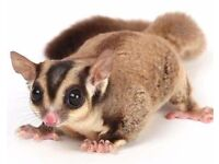3 sugar gliders for sale around 2 years old