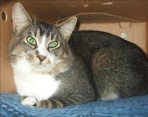 """Adult Male Cat - Domestic Short Hair: """"Thor"""""""