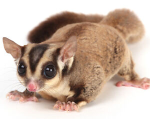 Looking for a sugar glider
