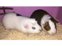 Two male guinea pigs plus cage and accessories