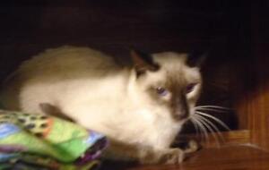 """Young Male Cat - Siamese: """"Meeko"""""""