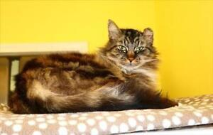 """Senior Male Cat - Domestic Long Hair-Maine Coon: """"Wallace"""""""